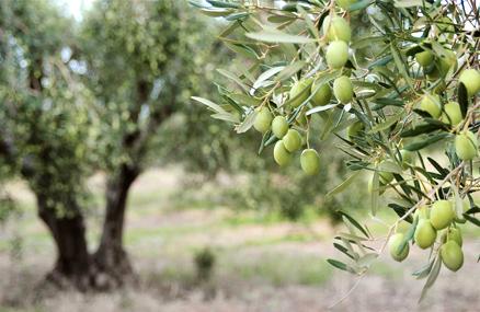 Arrendamiento del olivar