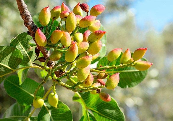Recogida de pistachos cuando están maduros