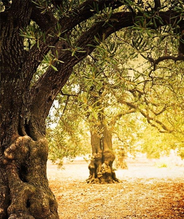 Arrendamiento de olivas
