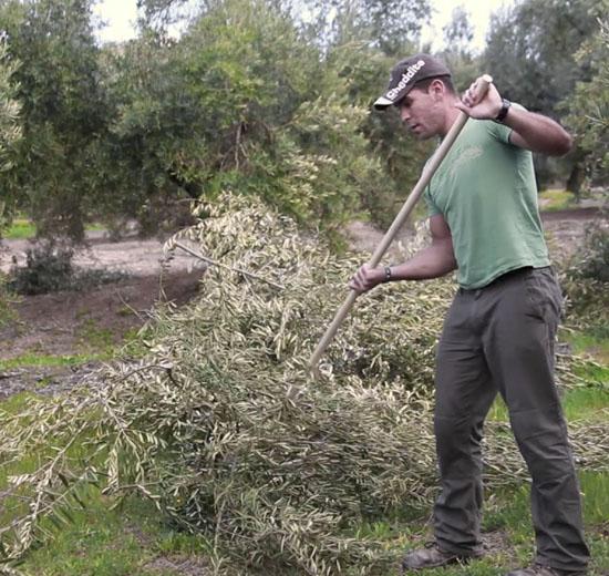 Acordonado de ramón en olivos